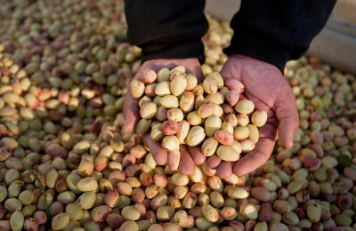 In this Sept. 22, 2010 photo, AgriWorld ranch manager Chris Wylie gathers a handful of Kerman pistachio's at the AgriWorld farm in Madera, Calif. California farmers may be the big beneficiaries of a U.S. ban on Iranian pistachios that begins Wednesday, Sept. 29.