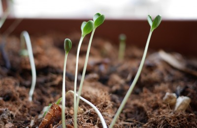 sprouts-2642669_1920