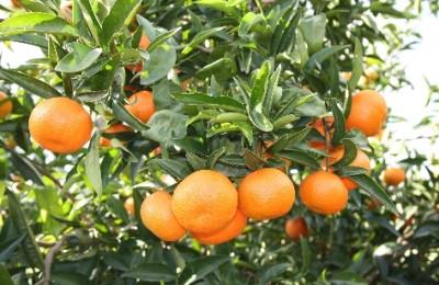 citrinos3