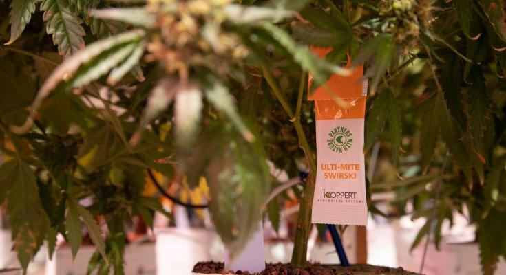 Koppert Biological Systems_Cannabis