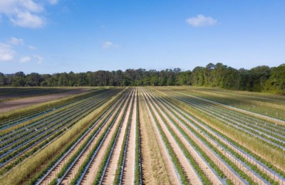 Aerial view of healthy, lush tomato field in South Carolina, USA.