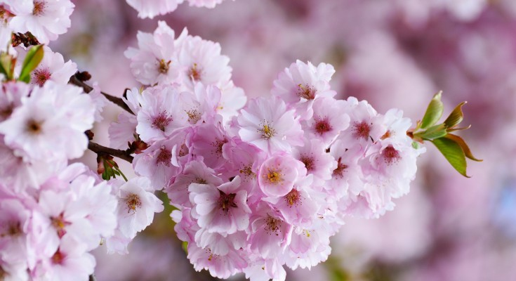 cherry-blossoms-3327498_1920